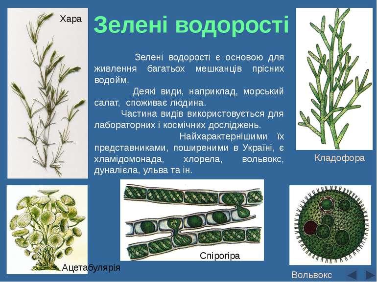 Спірогіра Вольвокс Кладофора Зелені водорості є основою для живлення багатьох...