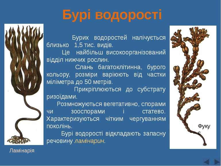 Бурі водорості Бурих водоростей налічується близько 1,5 тис. видів. Це найбіл...