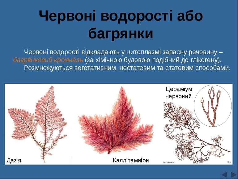Червоні водорості або багрянки Дазія Цераміум червоний Каллітамніон Червоні в...