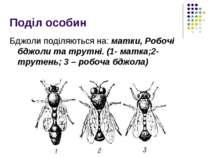 Поділ особин Бджоли поділяються на: матки, Робочі бджоли та трутні. (1- матка...