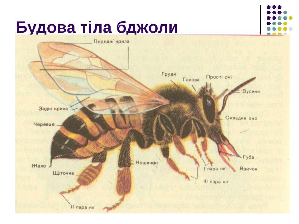 Будова тіла бджоли