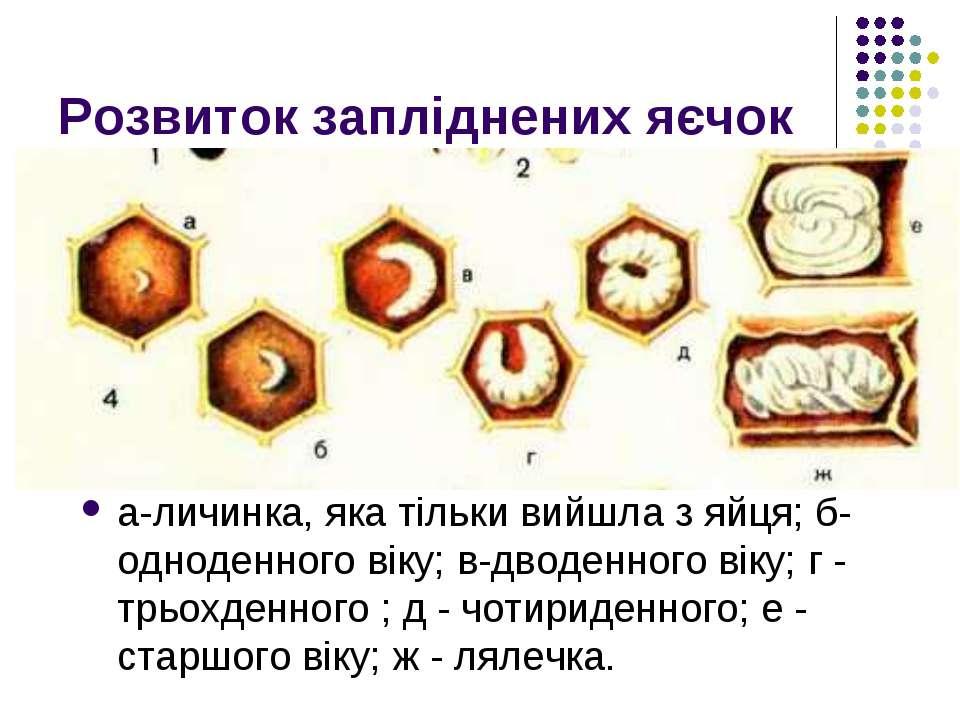 Розвиток запліднених яєчок а-личинка, яка тільки вийшла з яйця; б-одноденного...