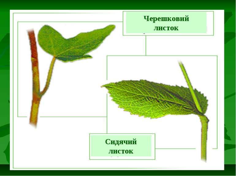 Черешковий листок Сидячий листок
