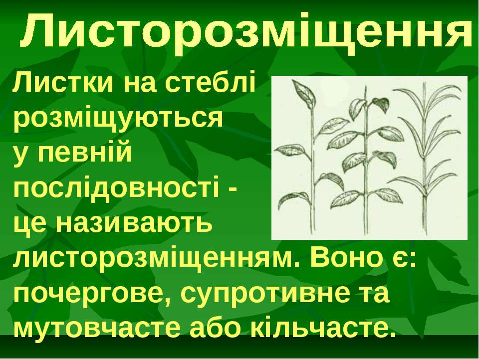 Листки на стеблі розміщуються у певній послідовності - це називають листорозм...