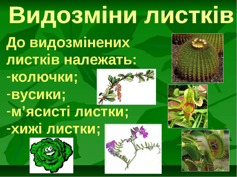 До видозмінених листків належать: колючки; вусики; м'ясисті листки; хижі листки;