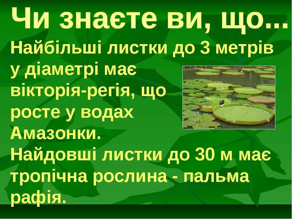 Найбільші листки до 3 метрів у діаметрі має вікторія-регія, що росте у водах ...