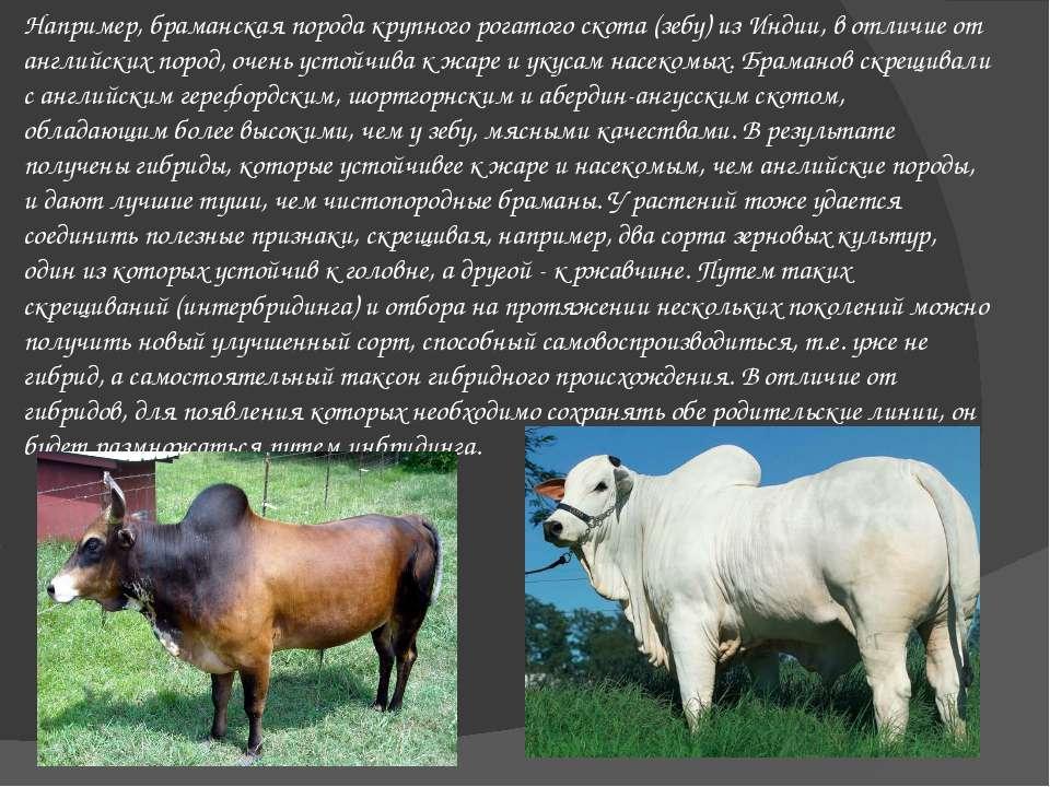 Например, браманская порода крупного рогатого скота (зебу) из Индии, в отличи...