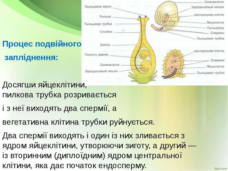 Процес подвійного запліднення: Досягши яйцеклітини, пилкова трубка розриваєть...