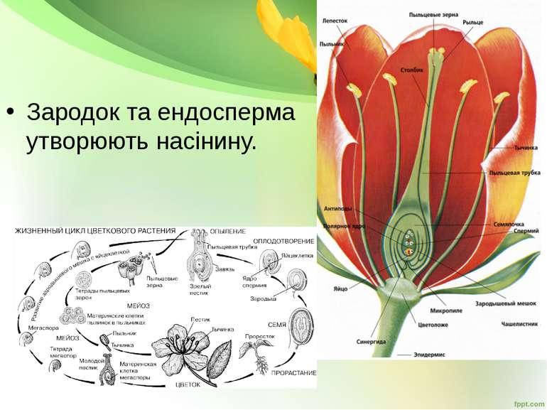 Зародок та ендосперма утворюють насінину.