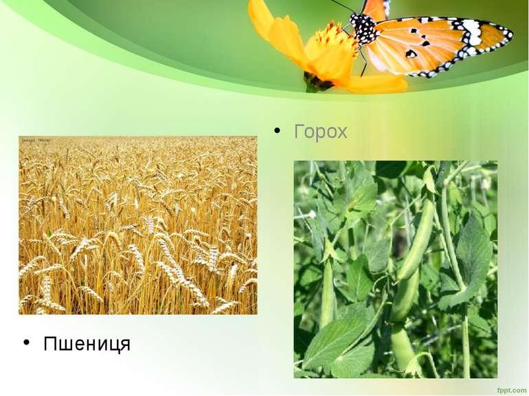 Пшениця Горох