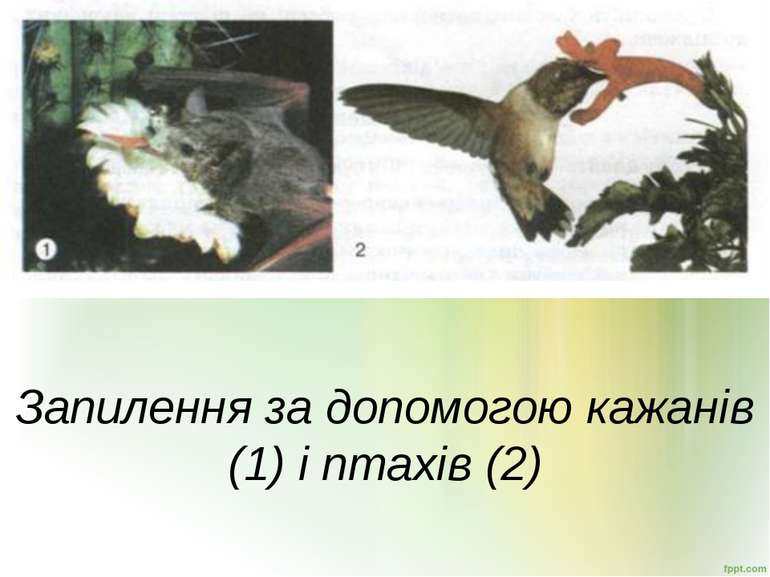 Запилення за допомогою кажанів (1) і птахів (2)