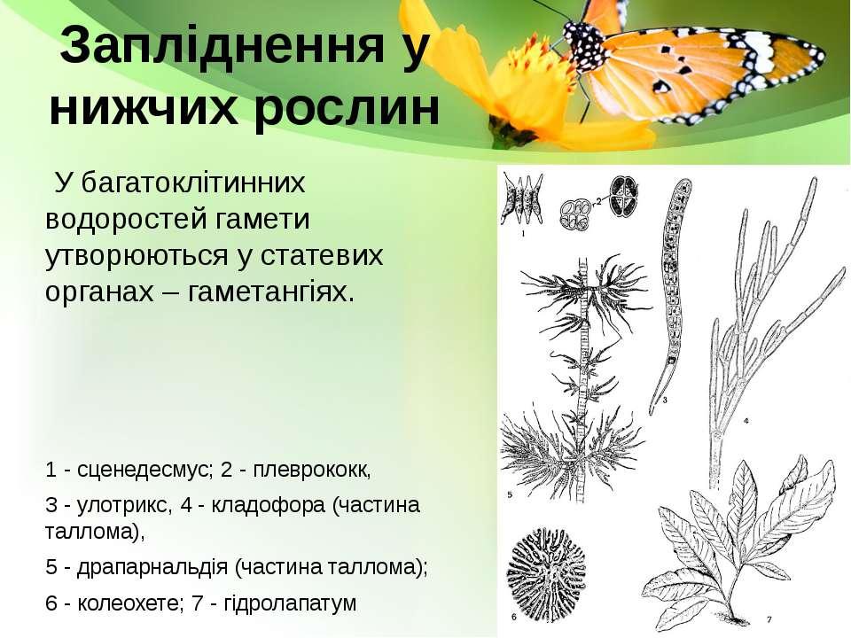 Запліднення у нижчих рослин У багатоклітинних водоростей гамети утворюються у...