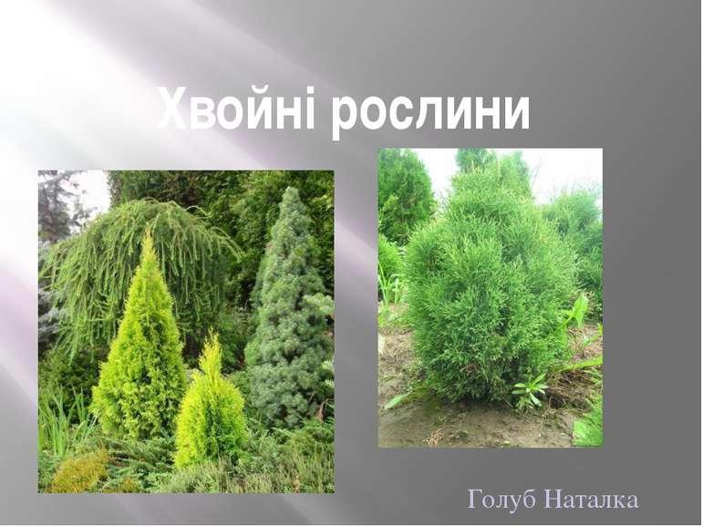 Хвойні рослини Голуб Наталка