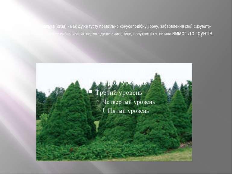Ялина канадська(сиза) - має дуже густу правильно конусоподібну крону, забар...