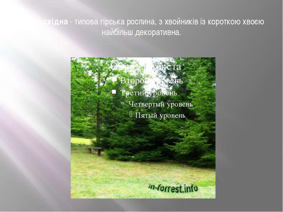 Ялина східна- типова гірська рослина, з хвойників із короткою хвоєю найбільш...