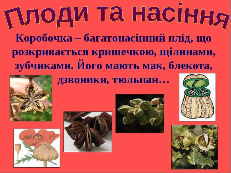 Коробочка – багатонасінний плід, що розкривається кришечкою, щілинами, зубчик...