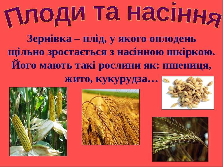 Зернівка – плід, у якого оплодень щільно зростається з насінною шкіркою. Його...