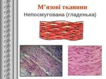 Непосмугована (гладенька) М'язові тканини