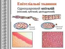 Епітеліальні тканини Одношаровий епітелій (плоский, кубічний, циліндричний)