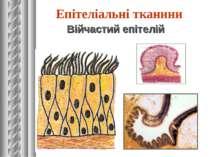 Війчастий епітелій Епітеліальні тканини