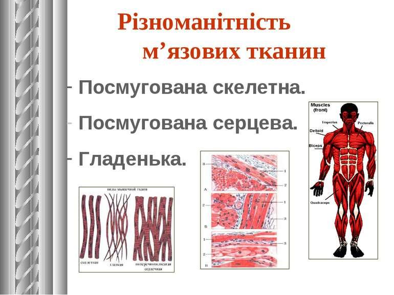 Різноманітність м'язових тканин Посмугована скелетна. Посмугована серцева. Гл...
