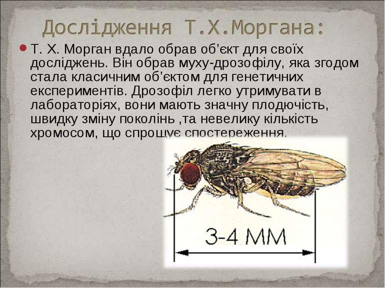 Т. X. Морган вдало обрав об'єкт для своїх досліджень. Він обрав муху-дрозофіл...