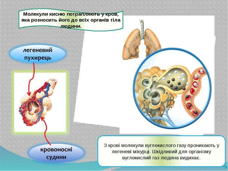 Молекули кисню потрапляють у кров, яка розносить його до всіх органів тіла лю...