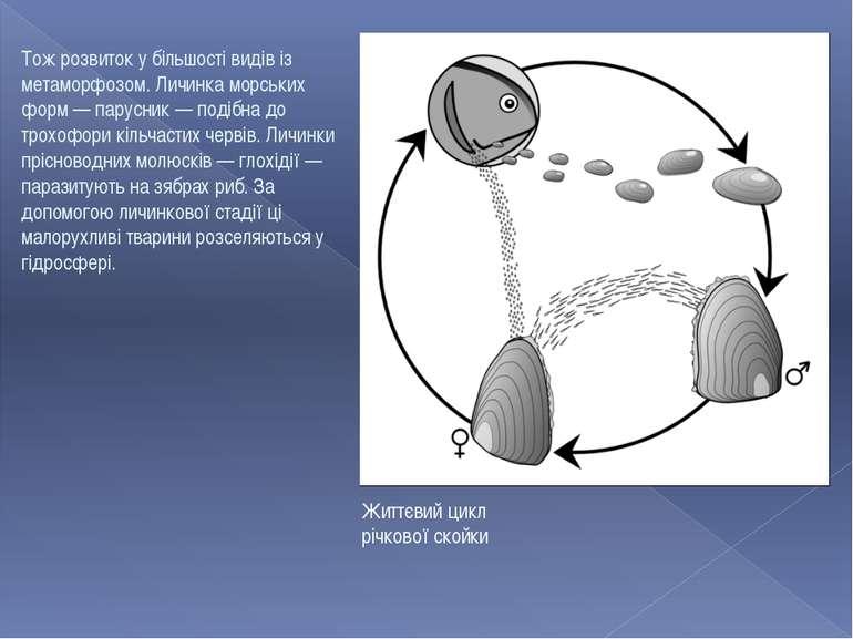 Життєвий цикл річкової скойки Тож розвиток у більшості видів із метаморфозом....