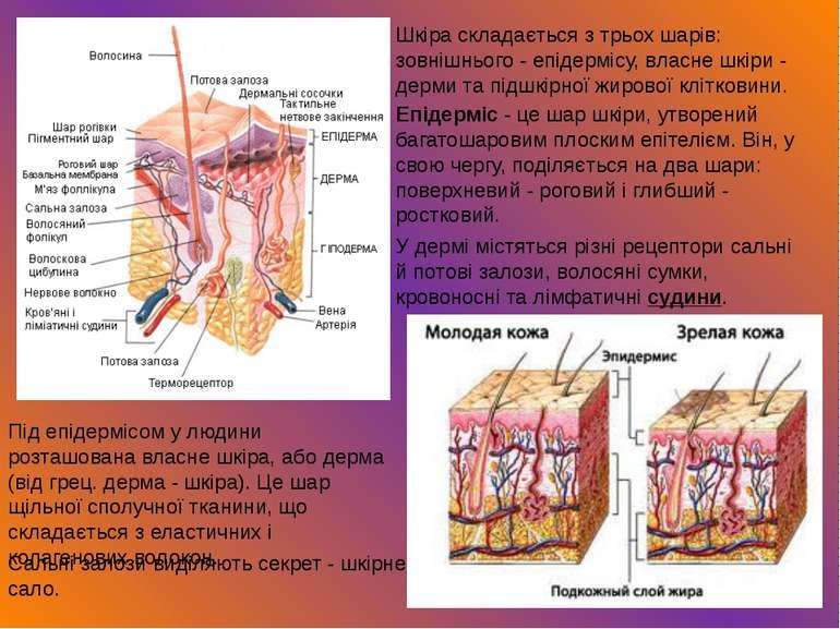 Шкіра складається з трьох шарів: зовнішнього - епідермісу, власне шкіри - дер...