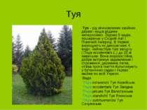 Туя Туя - рід вічнозелених хвойних дерев і кущів родини кипарисових. Відомо 5...