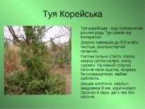 Туя Корейська Туя корейська - вид голонасінних рослин роду Туя сімейства Кипа...