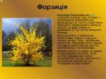 Форзиція Форзиція Європейська (лат. Forsythiа europae Deg. et Bald) — листопа...