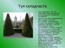 Туя складчаста Туя складчаста, або Туя гігантська - вид голонасінних рослин р...