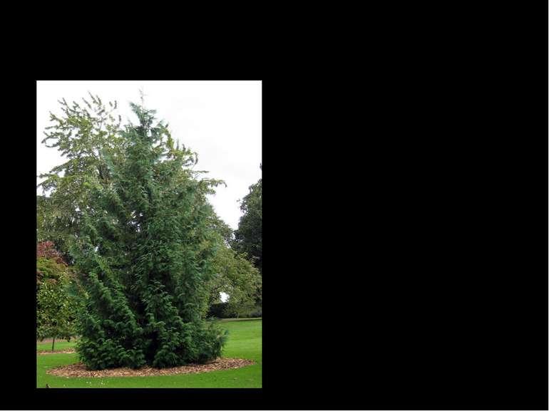Туя японська Туя японська, або Туя Стендиш - вид вічнозелених дерев роду Туя ...