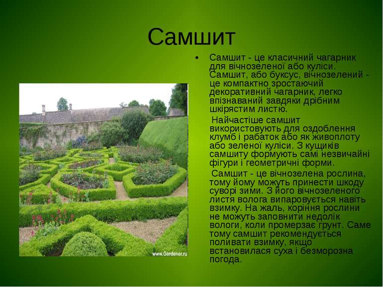 Самшит Самшит - це класичний чагарник для вічнозеленої або куліси. Самшит, аб...