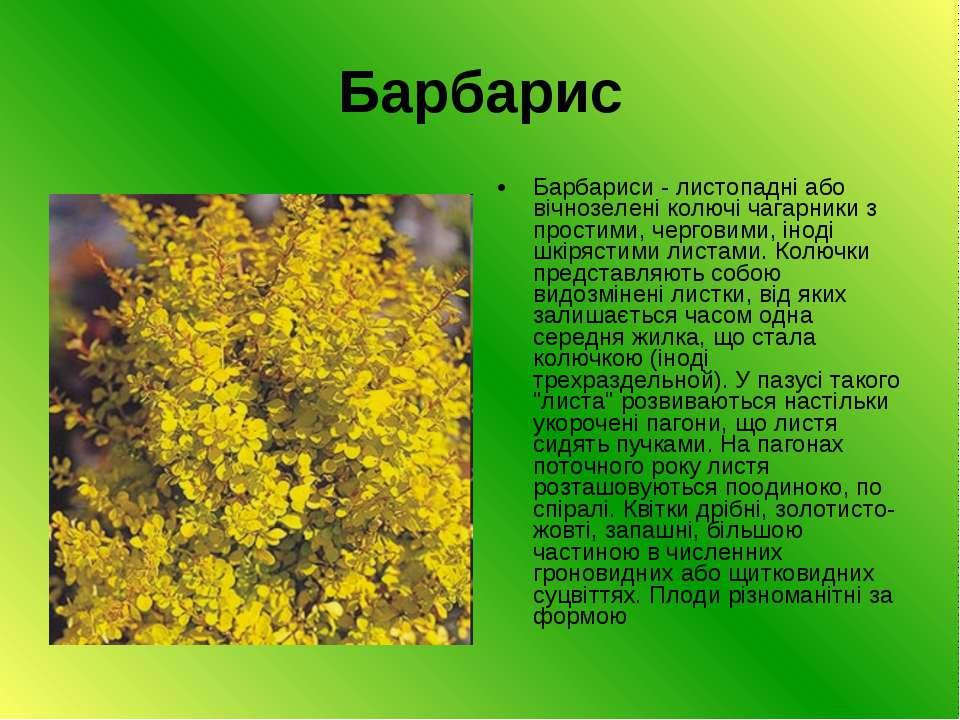 Барбарис Барбариси - листопадні або вічнозелені колючі чагарники з простими, ...