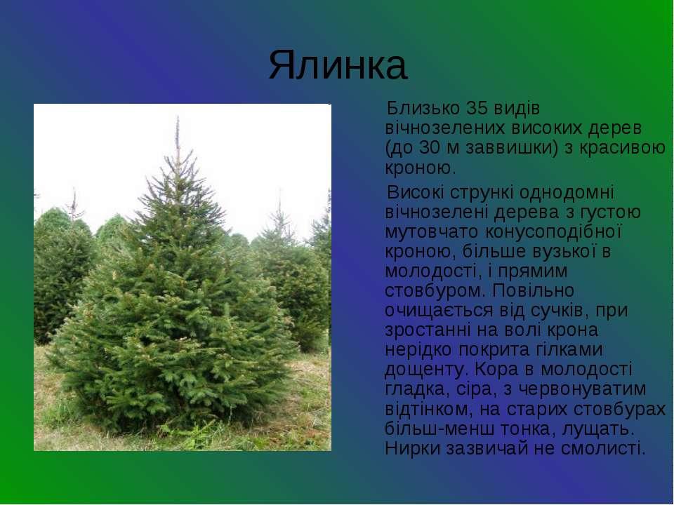 Ялинка Близько 35 видів вічнозелених високих дерев (до 30 м заввишки) з краси...