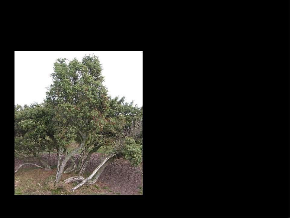Ялівець Ялівець – вічнозелений або невелике деревце (4-6 м заввишки) родини к...