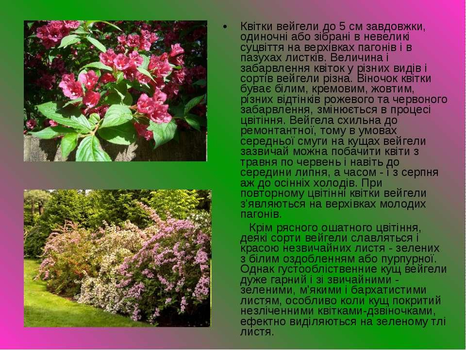 Квітки вейгели до 5 см завдовжки, одиночні або зібрані в невеликі суцвіття на...