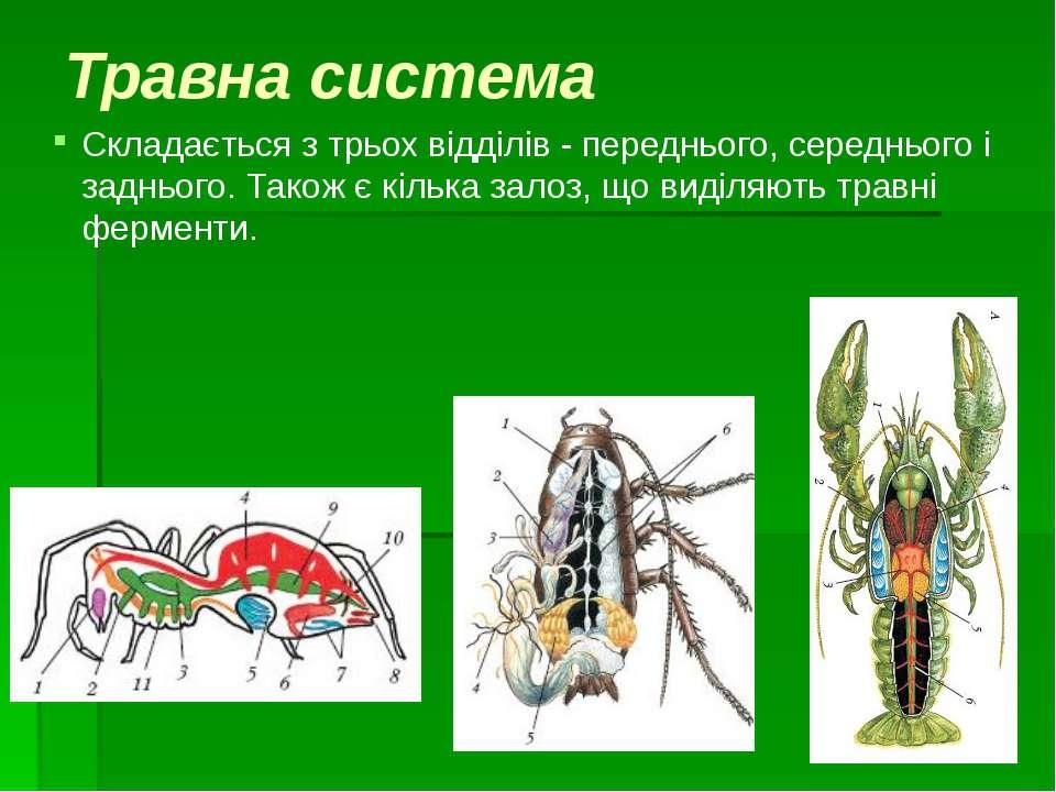 Травна система Складається з трьох відділів - переднього, середнього і задньо...