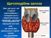 Має дві долі, які з'єднані перешийком, і складаються з мікроскопічних пухирці...