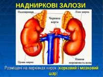 НАДНИРКОВІ ЗАЛОЗИ Розміщені на верхівках нирок (корковий і мозковий шар)