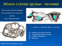 Парні органи овальної форми Розташовуються в порожнині малого таза з боків ві...