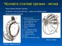 Парні органи овальної форми, розміщені в мошонці (калитці) – шкірно-мя'зовому...