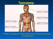 Тренажер 1.Гіпофіз; 2.Наднирники; 3.Щитоподібна залоза; 4.Підшлункова залоза;...