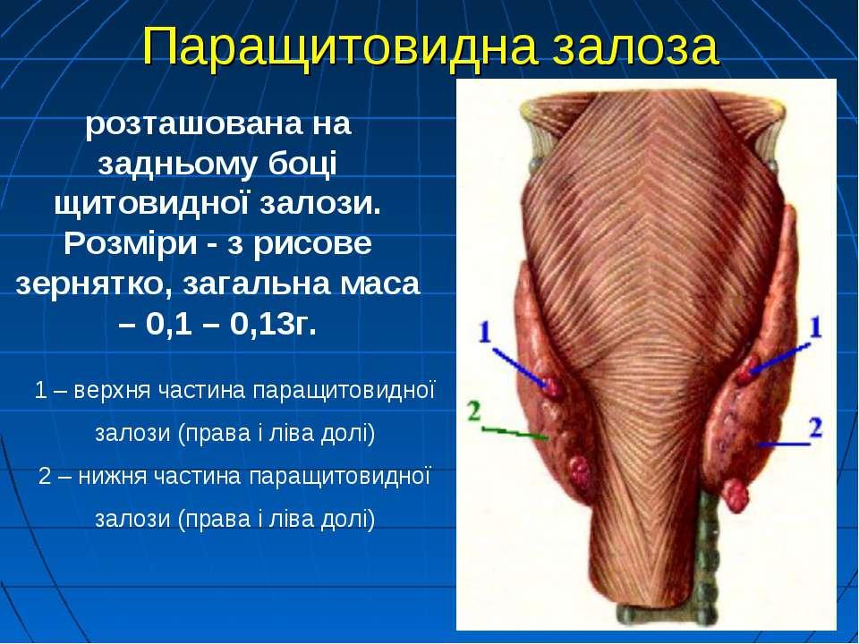 1 – верхня частина паращитовидної залози (права і ліва долі) 2 – нижня частин...