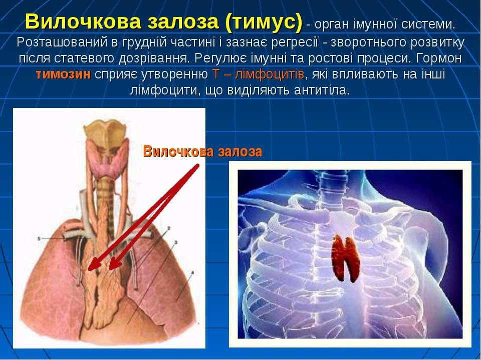 Вилочкова залоза (тимус) - орган імунної системи. Розташований в грудній част...