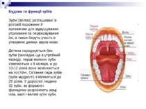 Будова та функції зубів Зуби (dentes) розташовані в ротовій порожнині й призн...