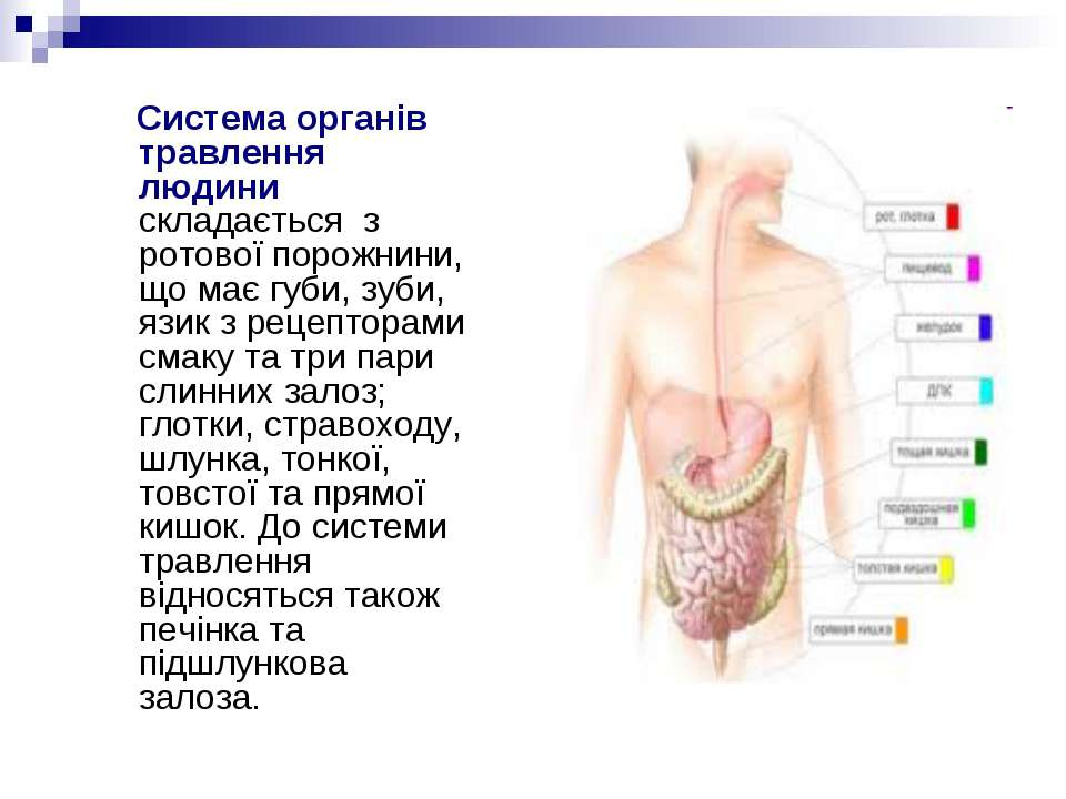 Система органів травлення людини складається з ротової порожнини, що має губи...