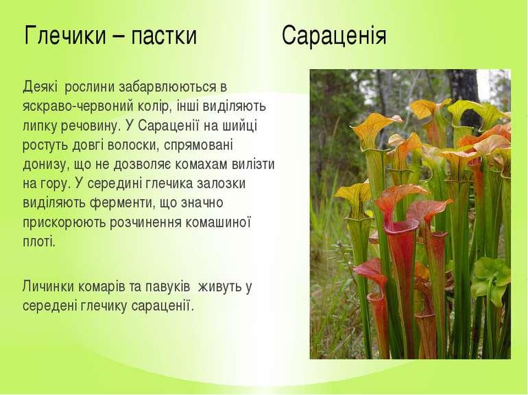 Глечики – пастки Сараценія Деякі рослини забарвлюються в яскраво-червоний кол...